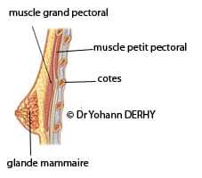 prothèse mammaire : rapport au thorax